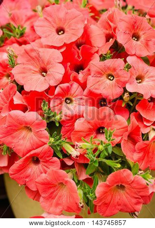 Petunias bright red flowers natural background. Close-up.