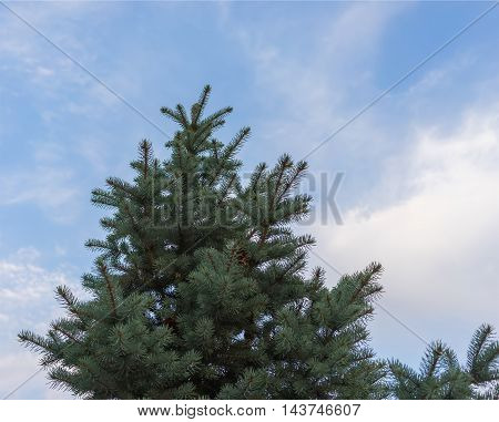Green Christmas tree without toys on a background of blue sky.