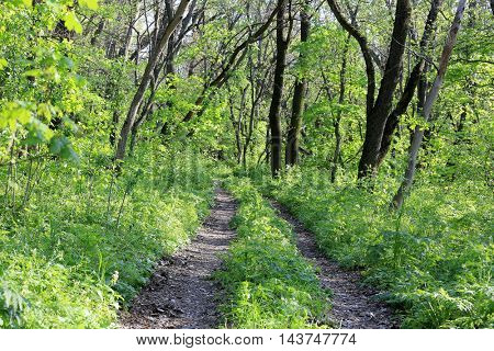 Rut road in green forest