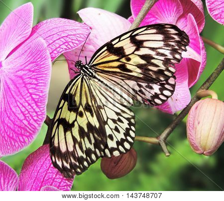 Butterfly resting on a pink orchid flower.