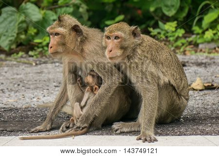 Monkey family. Mother father and baby monkey on the road.
