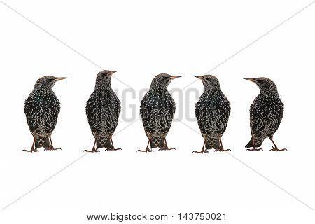 Starlings (Sturnus vulgaris) isolated on white. Studio shot.