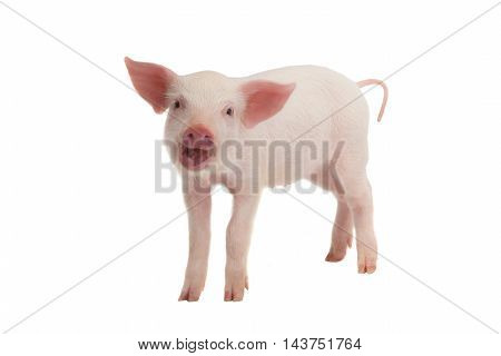 smile a pig with on a white background
