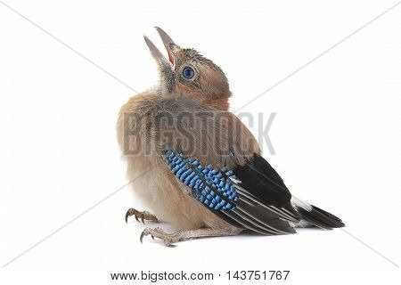 jay's with baby bird isolated on a white background
