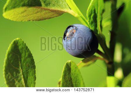 Detail Blueberry Plant