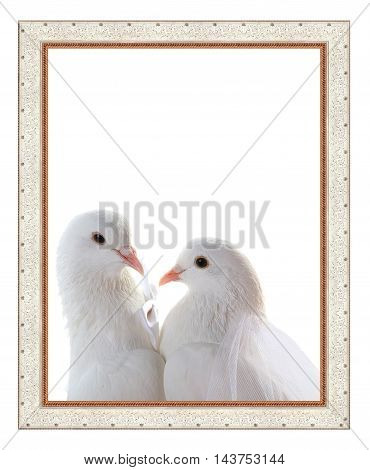 portrait of pigeons wedding in a frame. symbol of love and wedding.