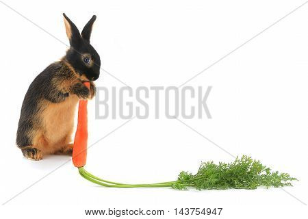 Rabbit with carrot isolated on white background. Studio shot.