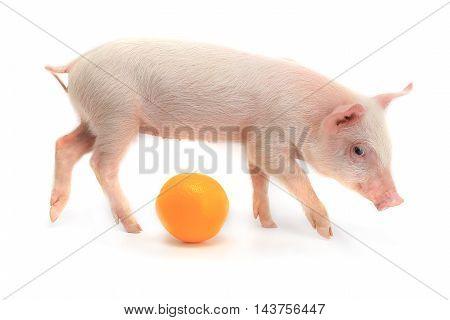 orange and pig on a white background. studio