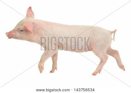 thinking pigs on a white background. studio
