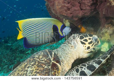 Emperor Angelfish with feeding Hawksbill Turtle