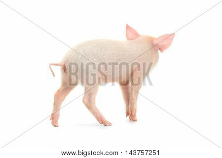 the pig on a white background. studio