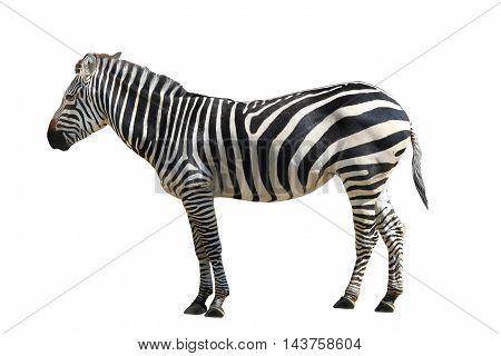 The a striped zebra on white background