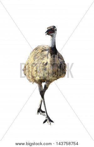 The a Emu isolated on white background.
