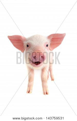 the smile pig on a white background