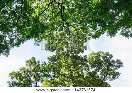 look up to the green treetop with the clear blue sky