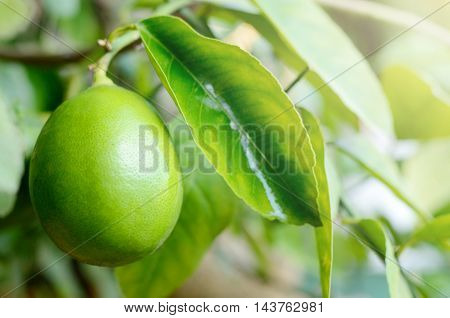 Green lemon on a branch of tree in garden. Summer organic healthy food