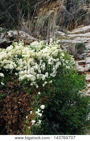 Blooming white flowers plant in the mountains