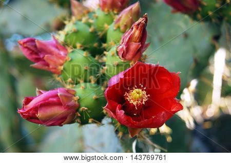 Bright red flowers on a prickly pear cactus