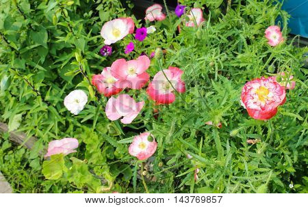 Bright poppies in the flowerbed in summer