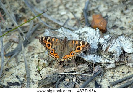 Meadow Argus butterfly (Junonia villida) with wings spread, Royal National Park, Sydney
