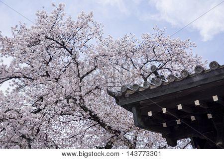 vintage beautiful Sakura cherry Blossom with blue sky