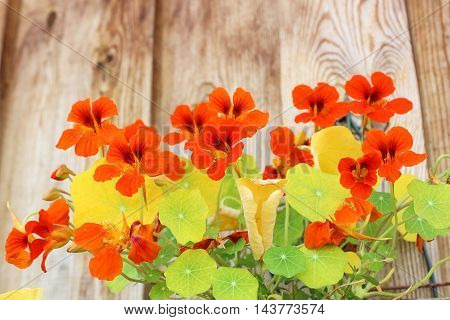 Bright and beautiful flowers of nasturtium in pots