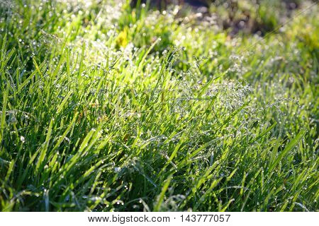 Close up of fresh thick grass with water drops in the early morning.