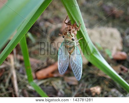 Cicada shedding it's exoskeleton on a stalk of grass