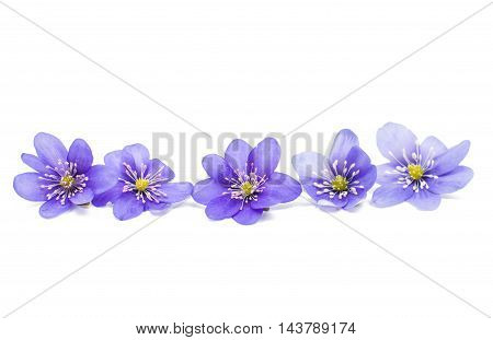 Hepatica nobilis spring flower on a white background