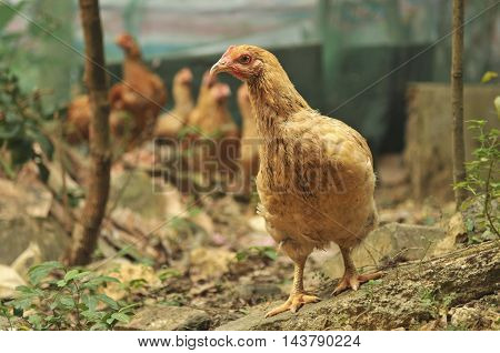 Chickens roaming around at a rural farm.