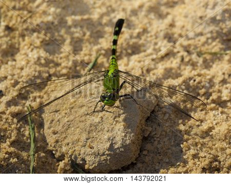 Bright green dragonfly on some sand waiting for a meal