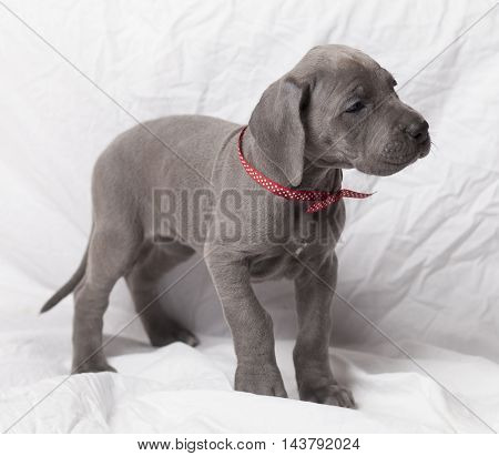 Purebred Great Dane puppy with a gray coat on a white background