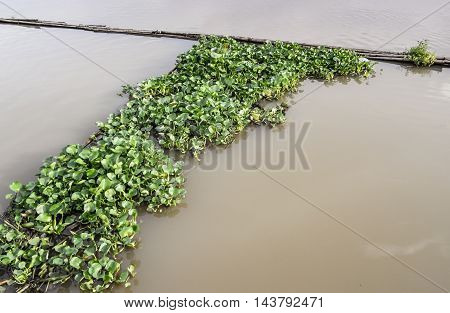 a group of water hyacinth floating on the river