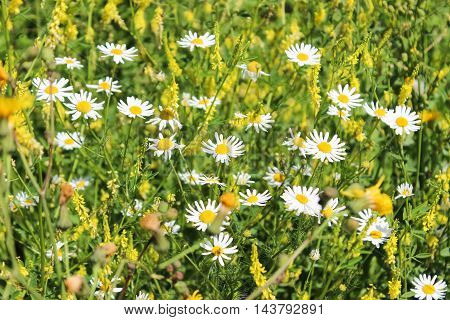 Flower glade from camomiles and meadow herbs