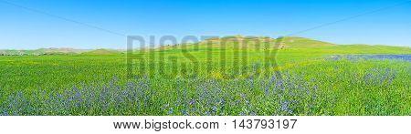 Panorama of the juicy meadow covered with the purple flowers of Anchusa Qashqadaryo Region Uzbekistan.