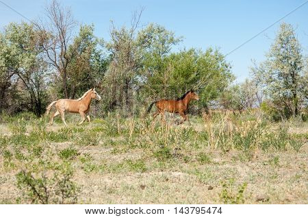 Steppe. horses in the steppe  animal, equine, mare