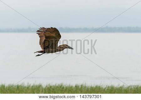 Hamerkop In Mid Flight