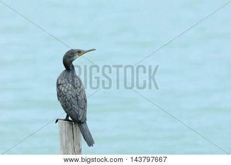 Little Cormorant Bird Perching On Log As Background