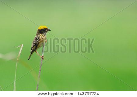 Streaked Weaver ,beautiful Bird Perching On Branch As Background