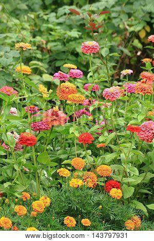Zinnia Flowers Background