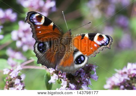 a colorful peacock butterfly pollinating purple flowers