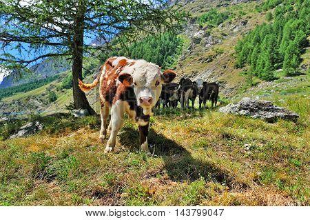 calfs breeding in alpien Valle dAosta Italy