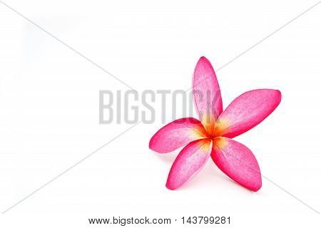 one beautiful pink plumeria on white background isolate and use for input text in blank space