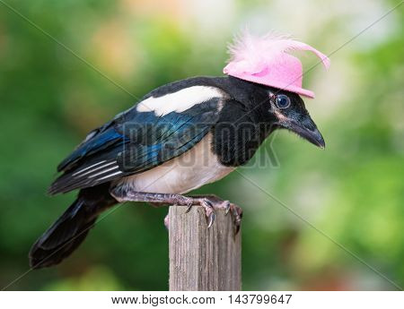 Bird in pink hat - nestling of magpie on wooden fence on green background.