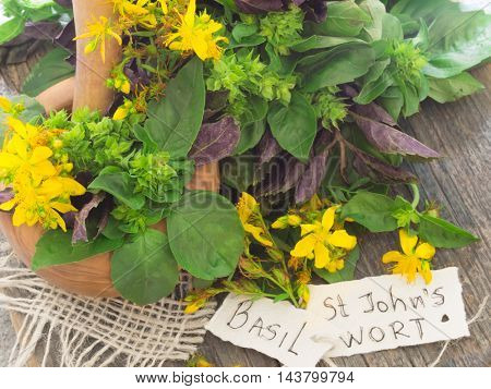 Basil herb and St John's wort, fresh plants