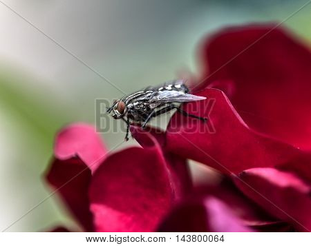 big fly on a red petals flower outdoor macro closeup