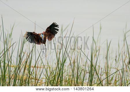 African Jacana In Mid Flight