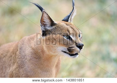 Caracal Portrait In Namibia