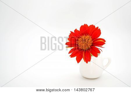 one beautiful red zinnia flower in small cup on background