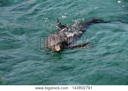 Dolphins In Caribbean Sea Water